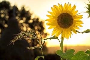 sunflower-oil-for-infections